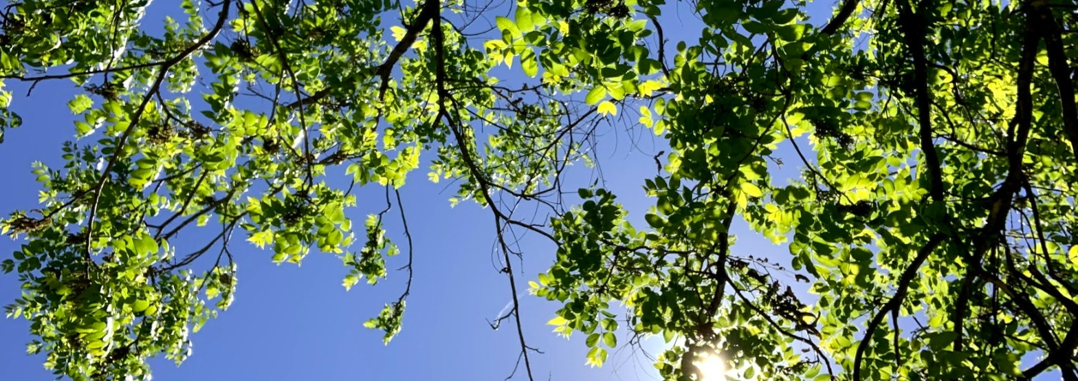Image of green leaves on a tree with a sunny sky background